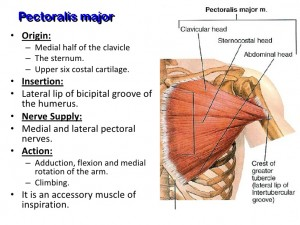 muscles-of-the-pectoral-region-4-728